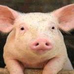 صفات الخنزير ومعلومات قد لاتعرفها عن الخنازير