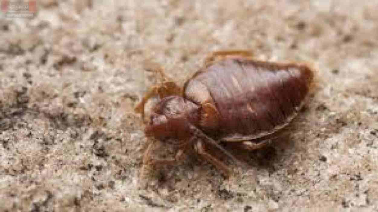 لدغة حشرة الفراش وكيف تحمى نفسك من أضرارها